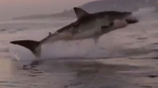 As absorbing a scene from Jaws? Watch the super slo-mo picture of this great white shark leaping
