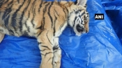Ika, tiger cub named by Mamata Banerjee dies at Bengal Safari