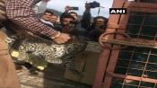 Leopard cub found hiding under parked car near court complex in Shimla