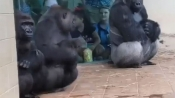 Hilarious! Gorillas human-like reaction to rain is winning hearts on the Internet