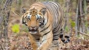 Bengal tiger called Covid gives Mexico zoo hope during coronavirus pandemic