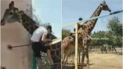 Video of drunk Man climbing over fence to ride on Giraffe's neck in zoo goes viral