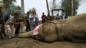 Elephant 'Laden' dies after six days in captivity