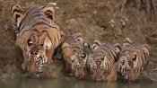 Adorable picture of tiger drinking water from river with cubs is quickly going viral