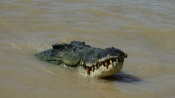Indonesia crocodile stuck in a tyre for years, now authorities offer a reward for removing it
