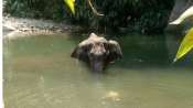 Pregnant wild elephant dies after cracker filled pineapple explodes in her mouth