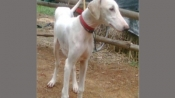 From Mudhol hounds to Combai: A look at some of the lesser known Indian dog breeds