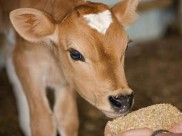 Aadhaar-like card for cows: Centre submits report to SC