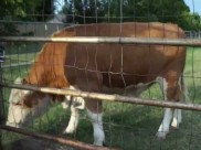 This cow runs like a dog when called, adorable!