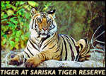 Royal tigers back in Sariska!