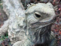Three-Eyed Lizard