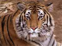 2010- Year of Tigers in India