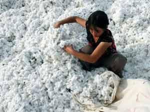 Gujarat Cotton