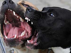 Stray dogs barking