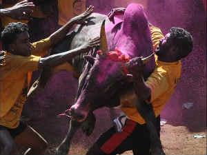 Jallikattu'', a bull-taming sport played in Tamil Nadu