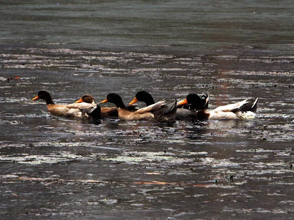 A flock of Ducks traped in the frozen waters of Dal Lake