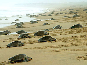 Baby olive ridley turtles