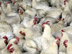 55, 000 chickens slaughtered to stop flu
