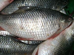 Hilsa sanctuaries proposed to save fish