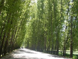 Poplar trees in Srinagar
