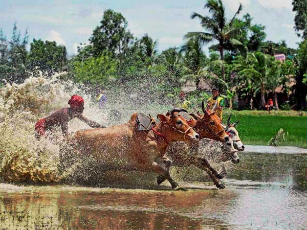Farmers participate in a bull race at a paddy field
