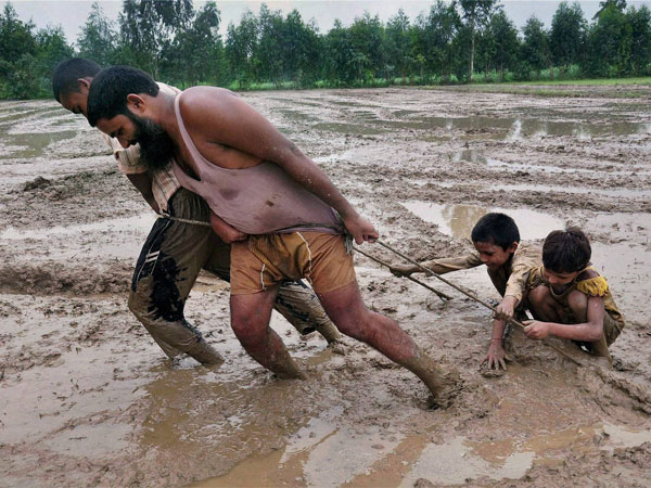 Farmers use a plank of wood to prepare a field for paddy