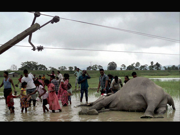 Elephant electrocuted in Assam
