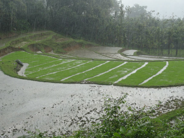 Surlabbhi paddy fields