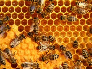 Bees attack couple, kill horses in US