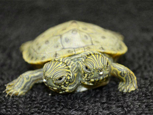 B'lore: Turtle rescued from being sold