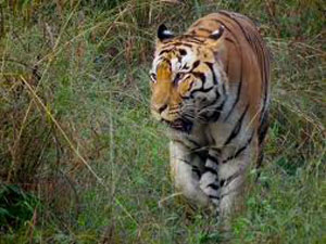 58 tigers die in MP in past 5-years