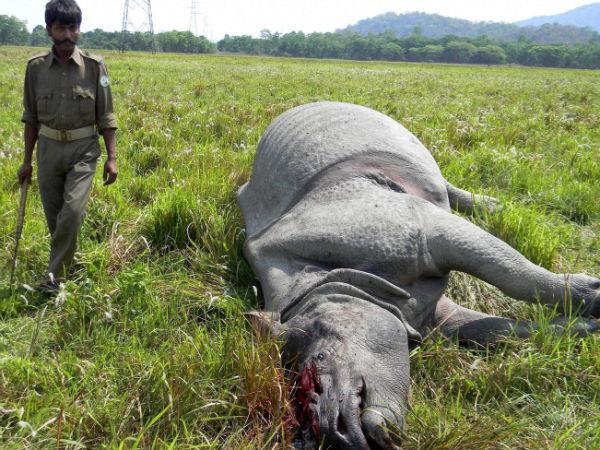 rhino-killed-assam