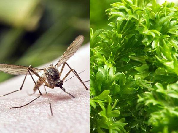 Dengue Mosquitos
