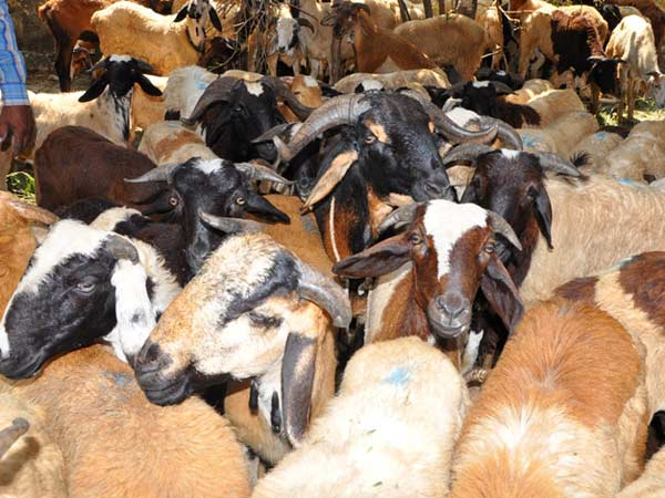 Goats snatched in Delhi on Eid eve
