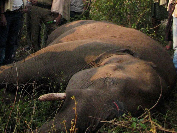 Assam: Speeding train kills four wild elephants