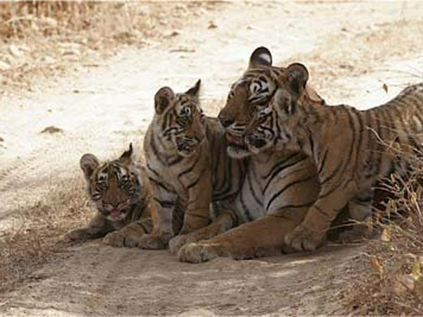 Circus tiger attacks boy in Qatar