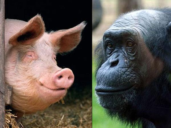 pig and chimpanzee