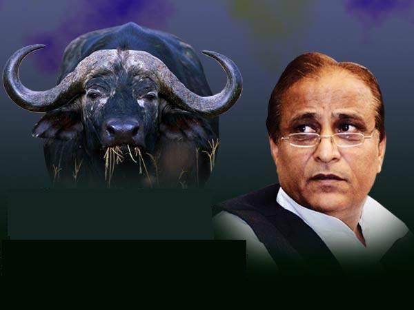 Azam Khan's missing buffaloes found