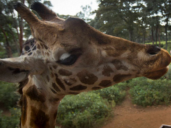 Denmark zoo kills giraffe in public