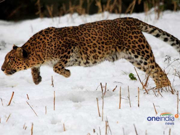 Five-year-old boy mauled to death by leopard