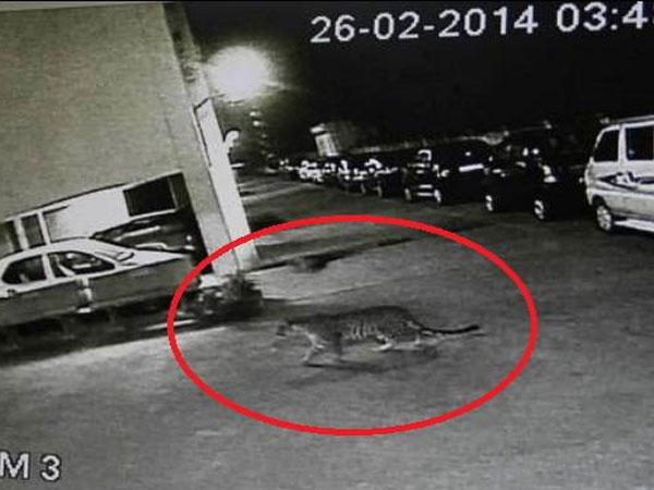 Stray dog chases leapord in Mumbai!