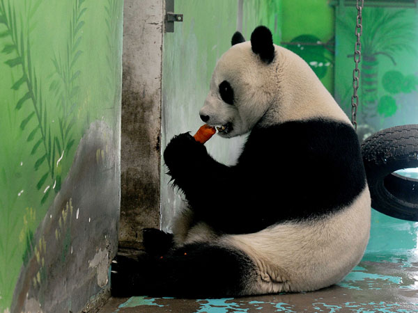 Panda enjoys a carrot