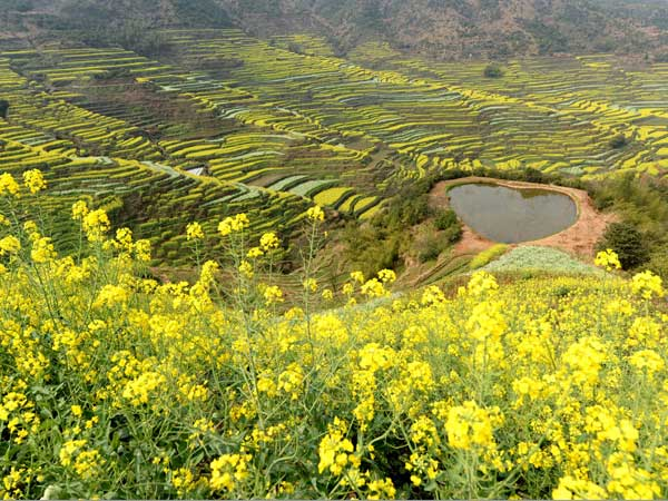 The scenery of cole flowers in Huangling Village