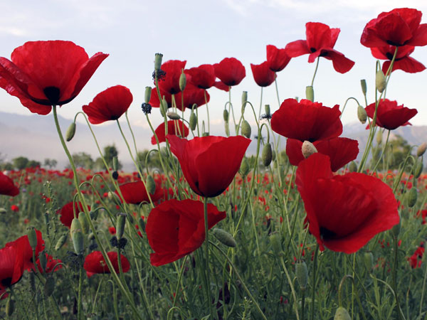 Wild poppy flowers bloom in a field of Pampore in Jammu and Kashmir