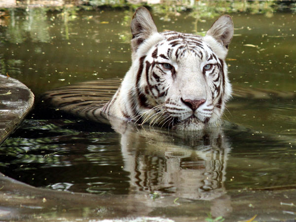 A white tiger resting in the water tank to protect itself