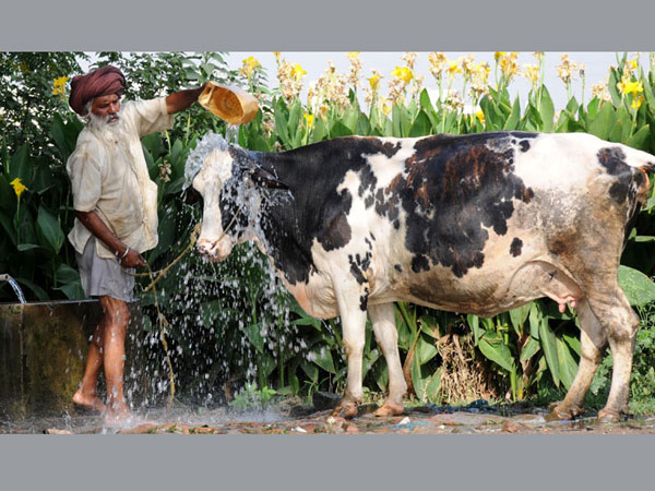 A man bathes his cow to beat the heat wave