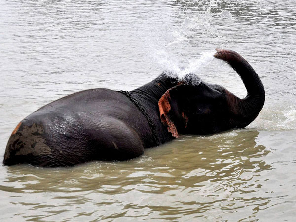An elephant cools itself in Brahmaputra river