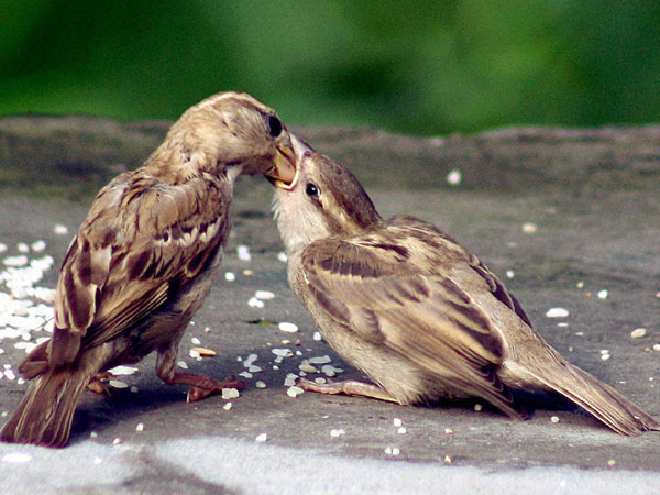 A sparrow feeds its chick in Dharamsala
