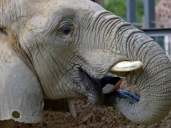 An elephant eats a chunk of ice containing fruit in Barcelona Zoo, Spain, Friday July 25, 2014. Temperatures reached around 35 degrees Celsius (95 degrees Fahrenheit) and the high temperatures are expected to last several days