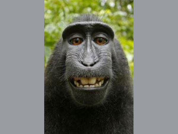 Controversy on monkey's selfie copyright